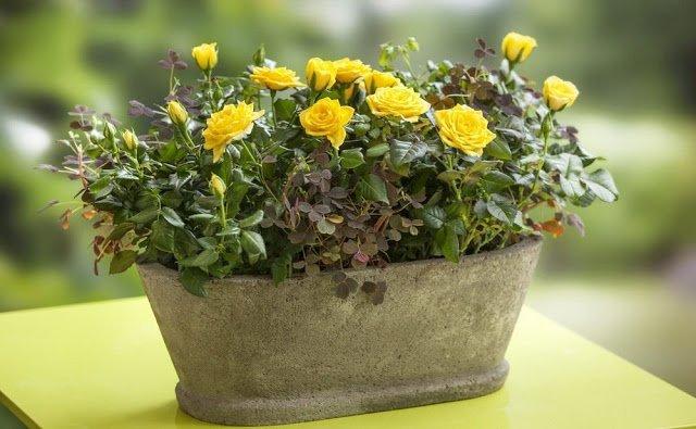 Комнатная роза — залог семейного счастья! Цветы по гороскопу